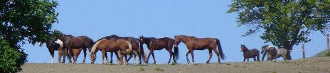 regionaler Pferdemarkt