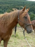 Warmblut Wallach Quarter Horse Fohlen / Jungpferd  freizeitpferde